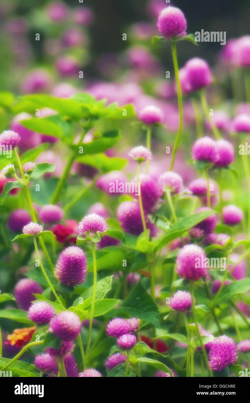 Gomphrena fiori. Gomphrena globosa. Settembre 2006, Maryland, Stati Uniti d'America Immagini Stock