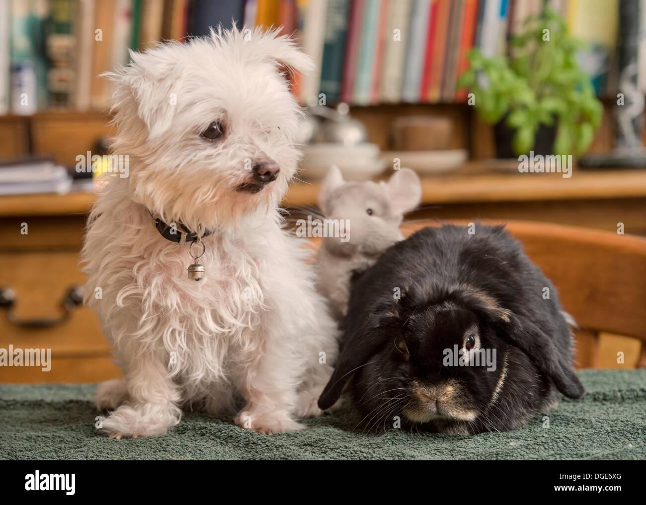 Un Maltese Cane Con Un Coniglio E Chinchilla In Una Casa Regno Unito