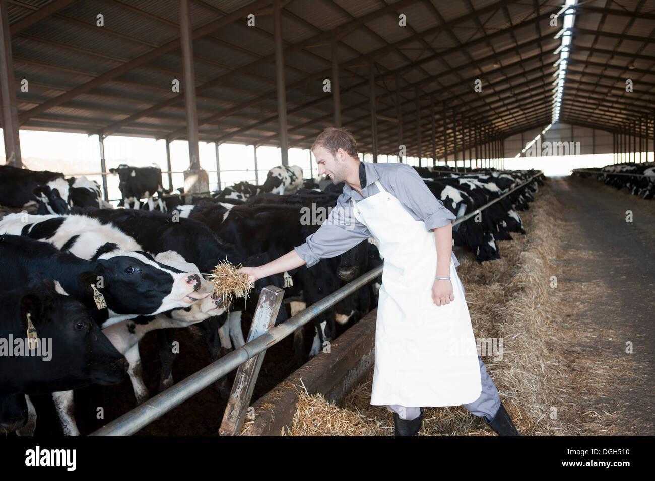 Lavoratore vacche di alimentazione al caseificio Immagini Stock
