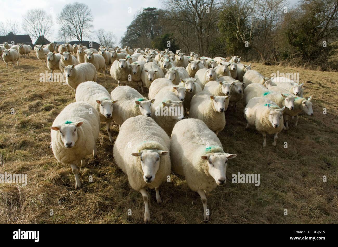 Gregge di pecore Immagini Stock