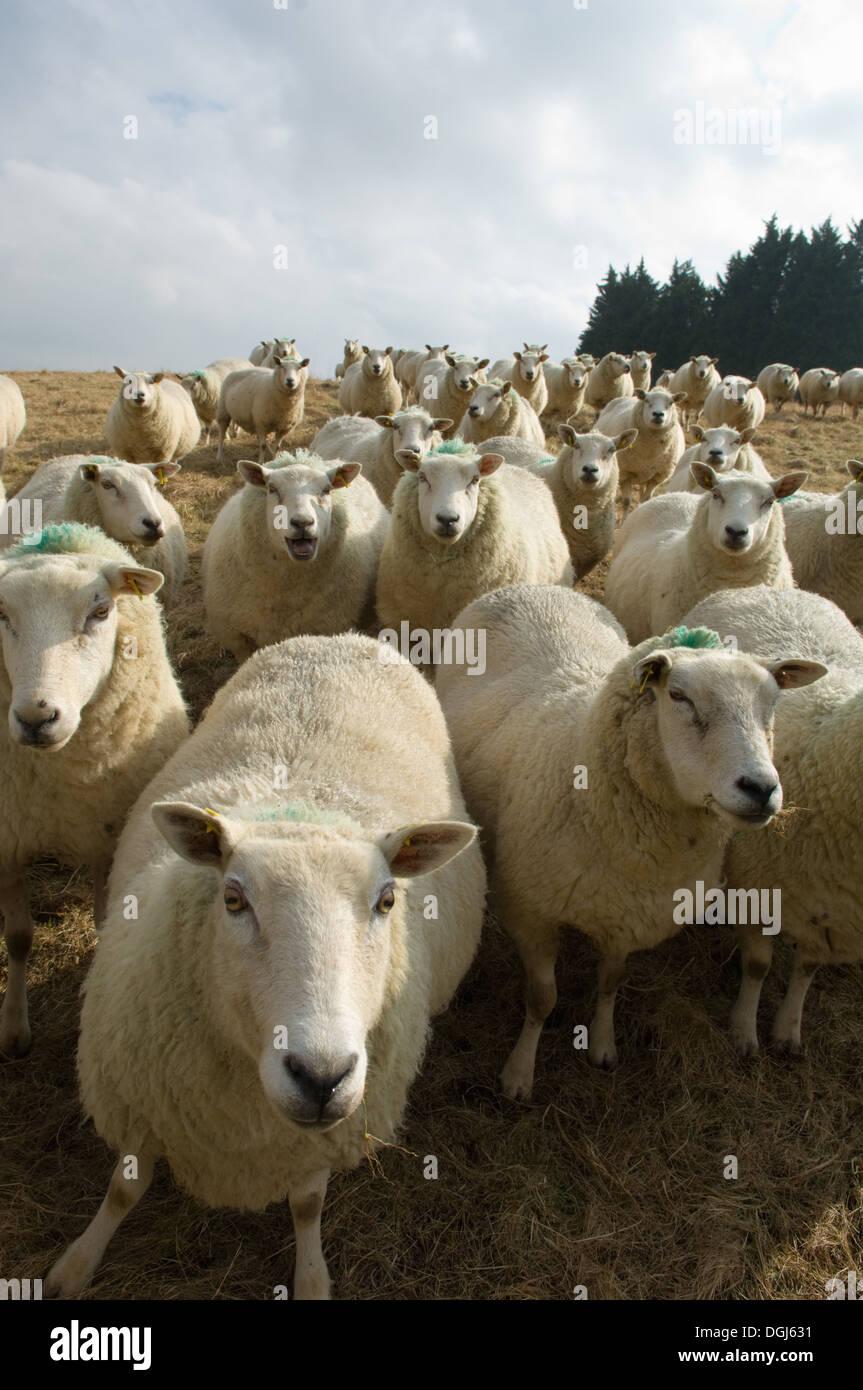 Chiusura del gregge di pecore Immagini Stock