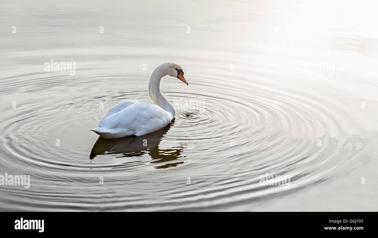 Ripples circondano un cigno su acque calme. Immagini Stock