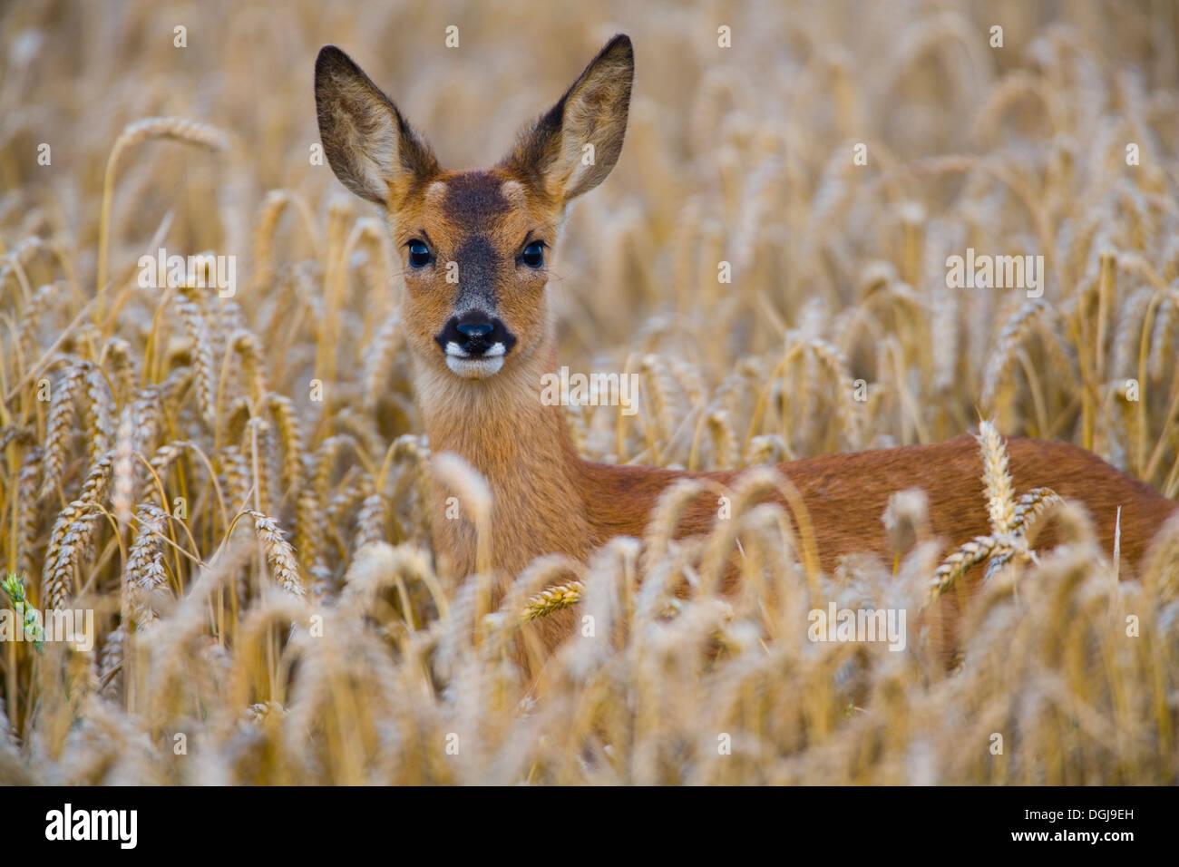 Un capriolo nascosto in un campo di grano. Immagini Stock