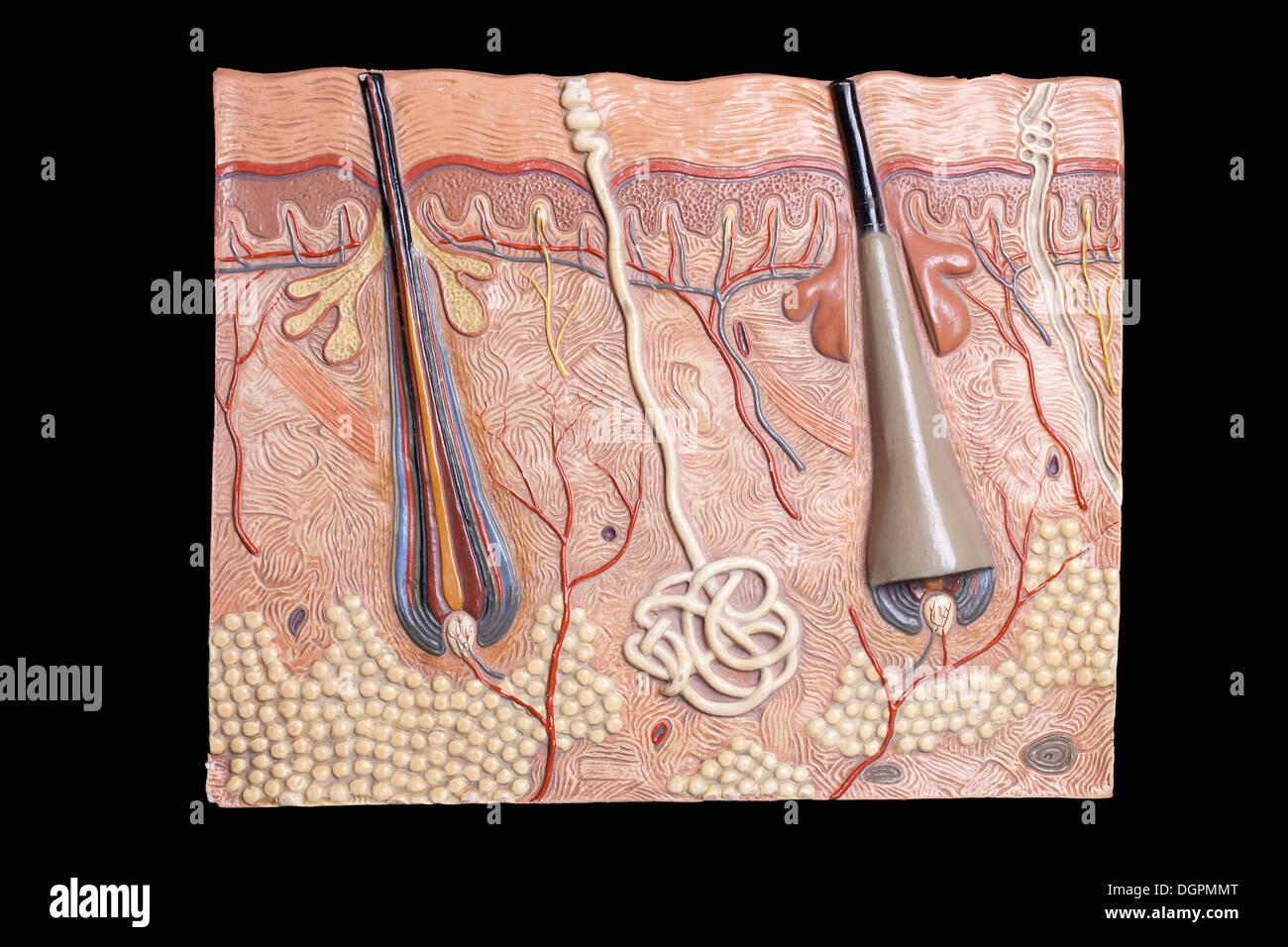 Modello anatomico della pelle umana Immagini Stock