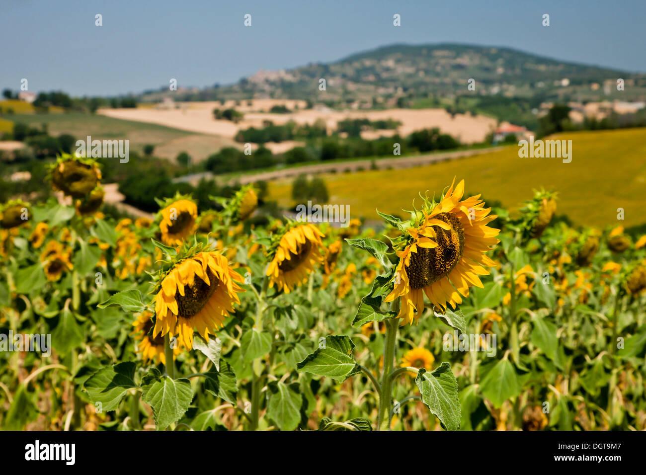 Paesaggio umbro con girasoli, Umbria, Italia Foto & Immagine ...
