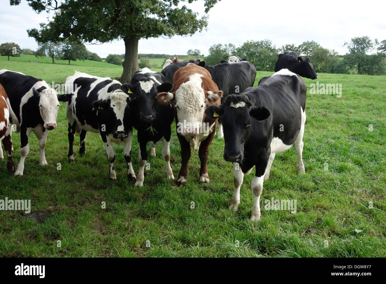 Oung Hereford bull in esecuzione con giovenche Immagini Stock