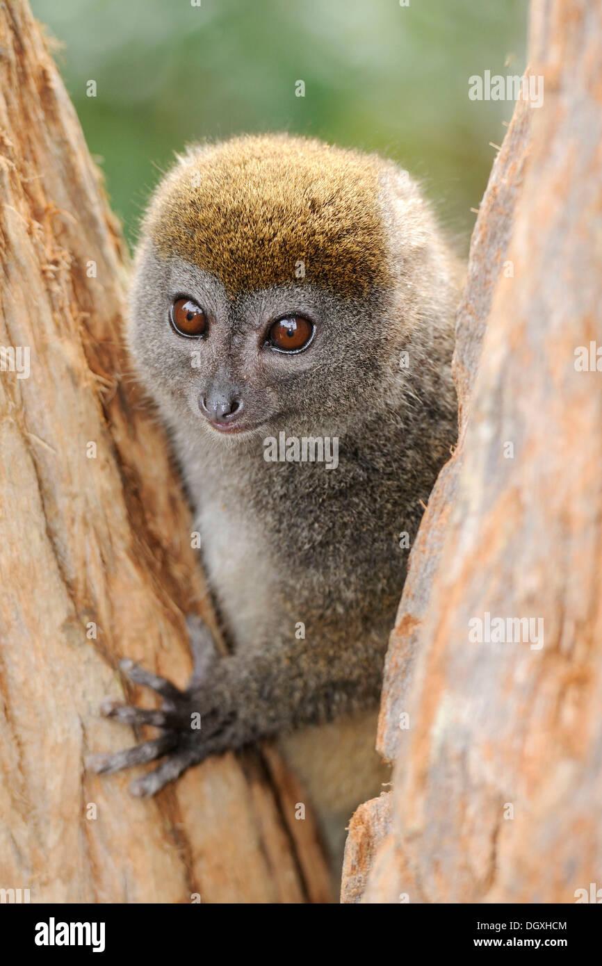 Minore orientale Bamboo Lemur (Hapalemur griseus), Madagascar, Africa Immagini Stock