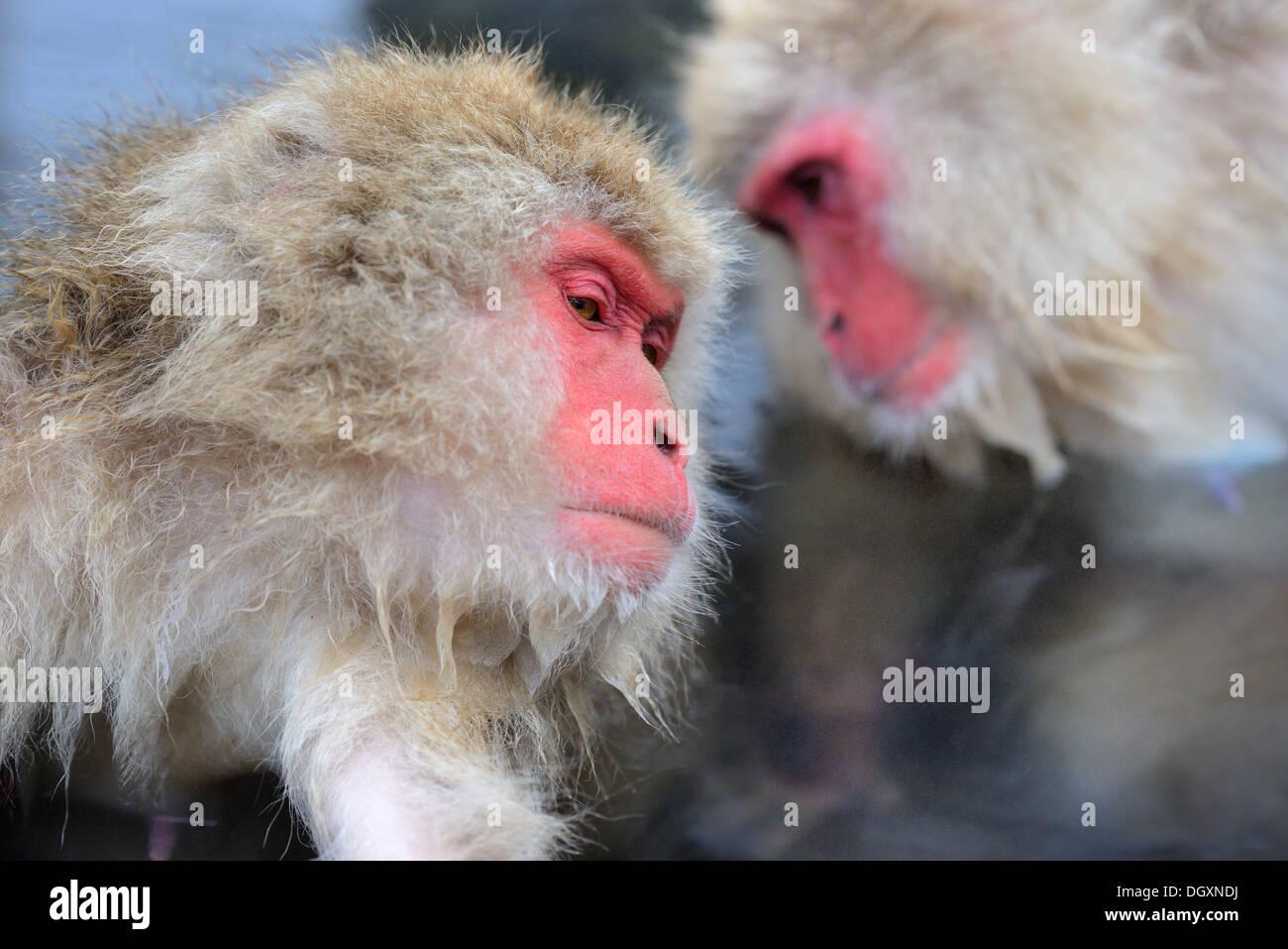 Macachi Jigokudani Monkey Park a Nagano, Giappone. Immagini Stock