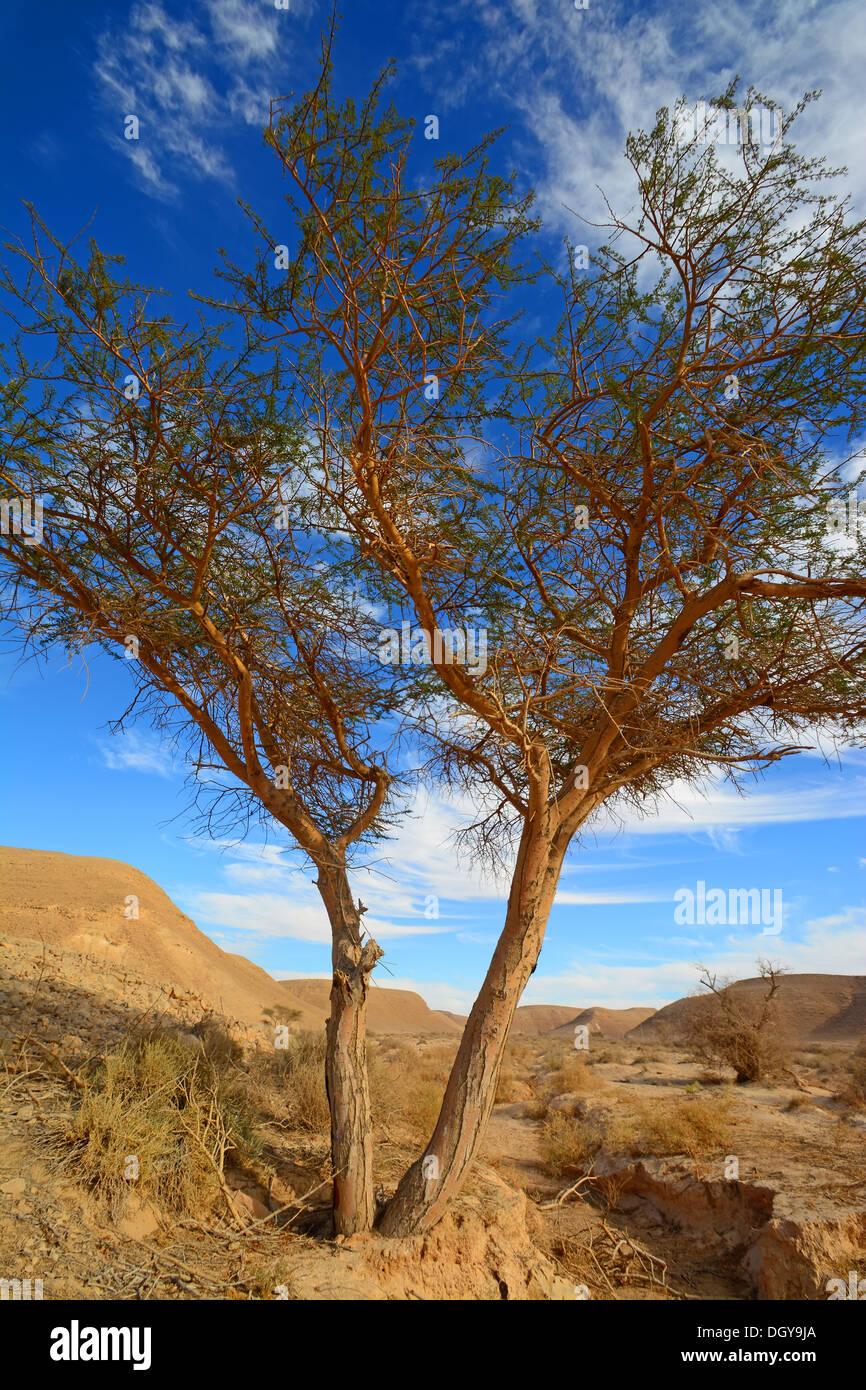 Acacia nel deserto, Immagini Stock
