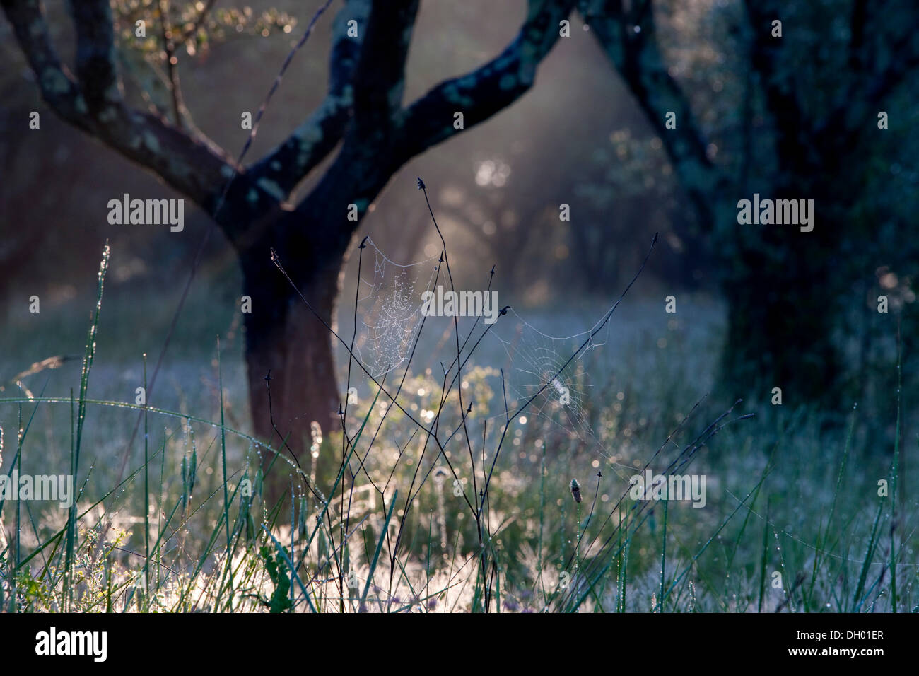 Albero di olivo (Olea europaea), retroilluminato, Alpes-de-Haute-Provence, Francia Immagini Stock