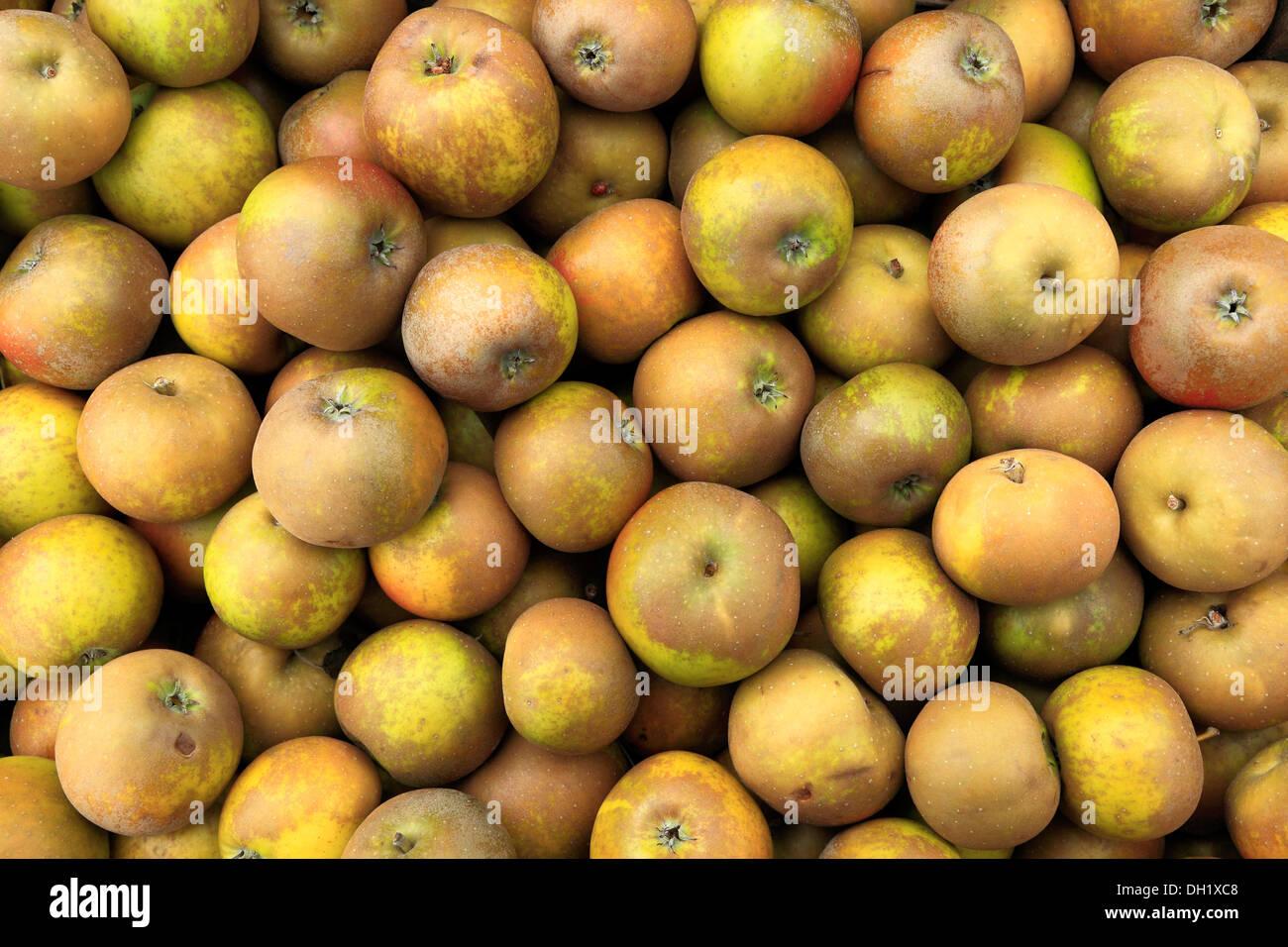 Apple 'Egremont Russet', farm shop display, mele REGNO UNITO Immagini Stock