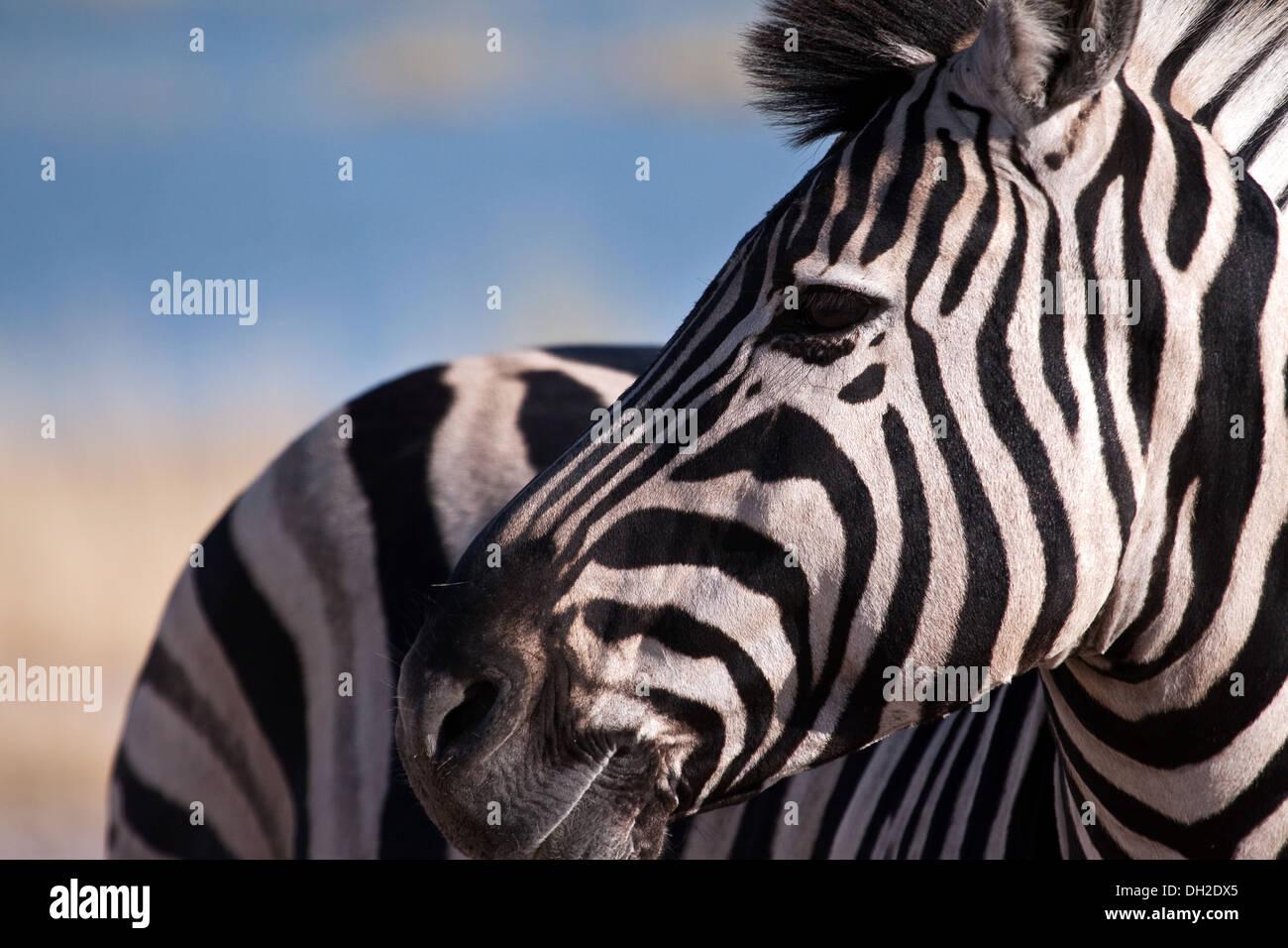 Zebra guardando sopra la sua spalla Immagini Stock