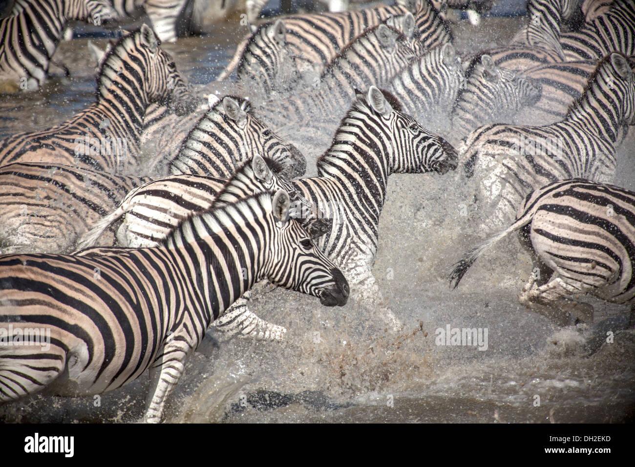 Zebre in esecuzione dopo essere stati a razze Immagini Stock