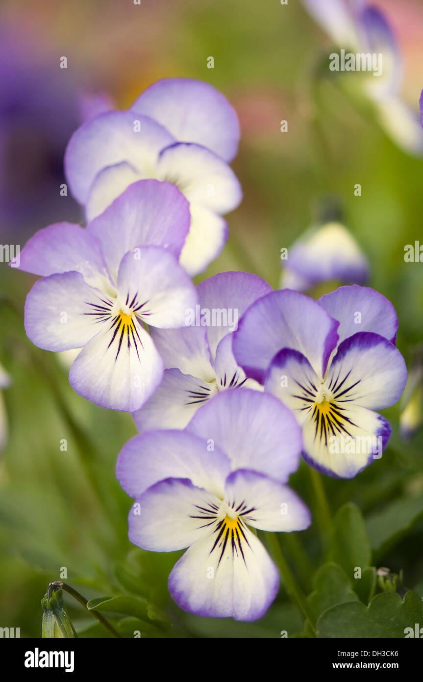 Delicato Colore Viola Pallido viola. gruppo di fiori con una delicata crema pallido e