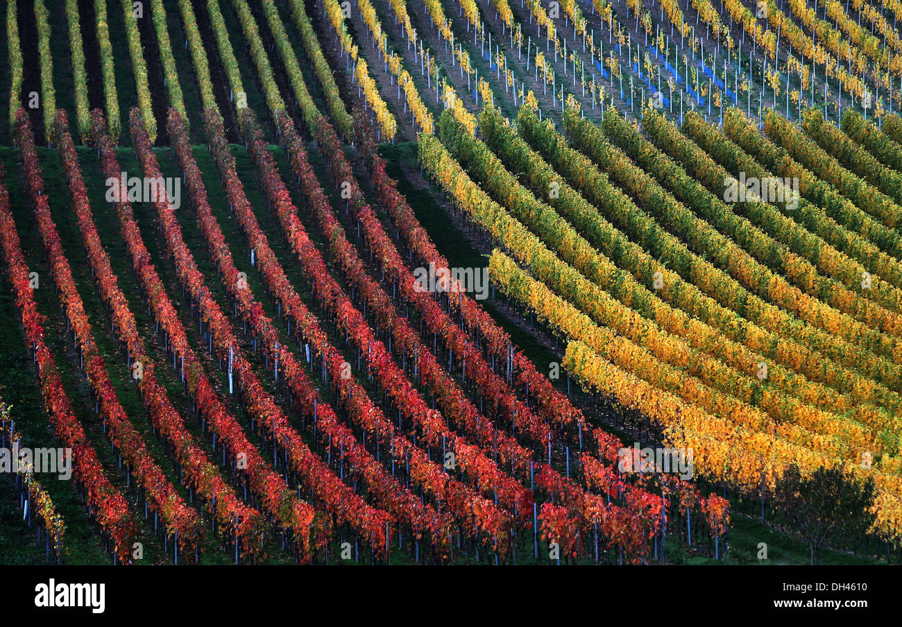 Marktbreit, Germania. 30 ott 2013. I vigneti sono colorati autumnally vicino a Marktbreit, Germania, 30 ottobre 2013. Foto: Karl-Josef Hildenbrand/dpa/Alamy Live News Immagini Stock