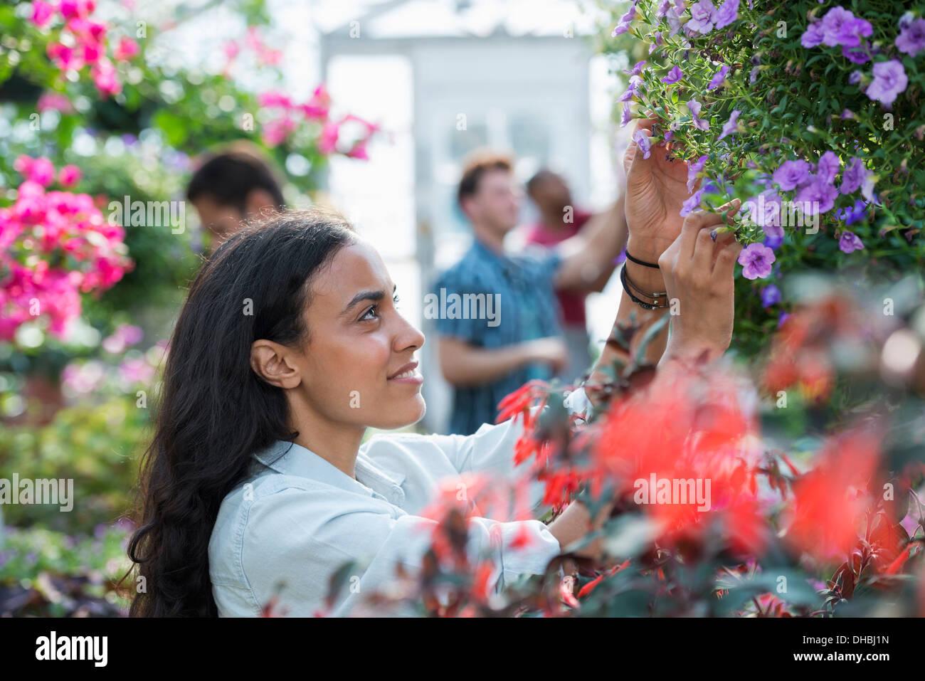 Una serra commerciale in un vivaio coltivazione fiori organici. Un gruppo di persone che lavorano. Immagini Stock