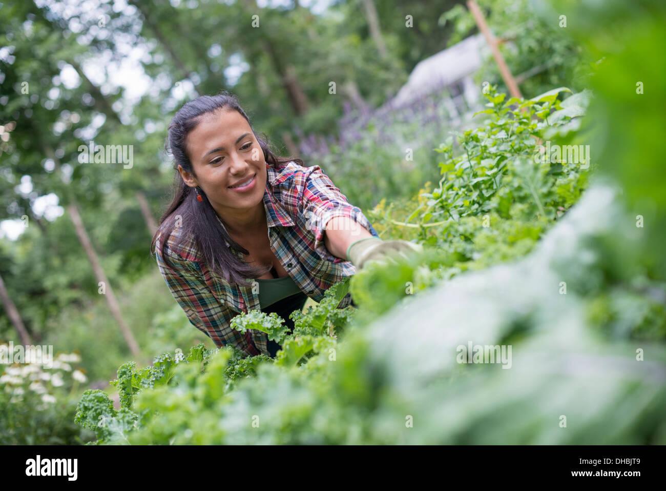 Una donna appoggiandosi a scegliere le erbe fresche e le verdure in un giardino. Immagini Stock