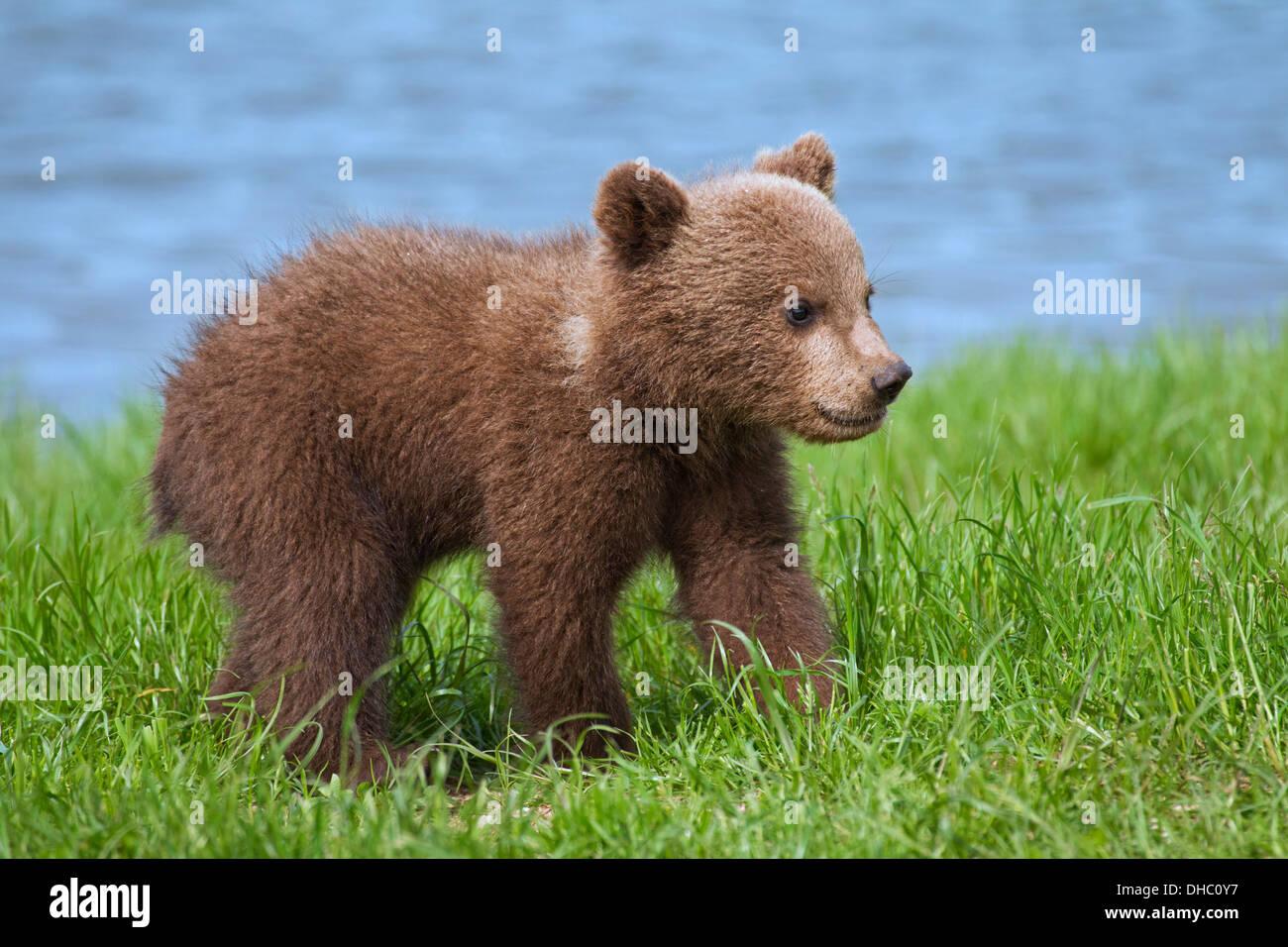 Unione orso bruno / Eurasian l'orso bruno (Ursus arctos arctos) cub sul lungofiume / Lake Shore Foto Stock