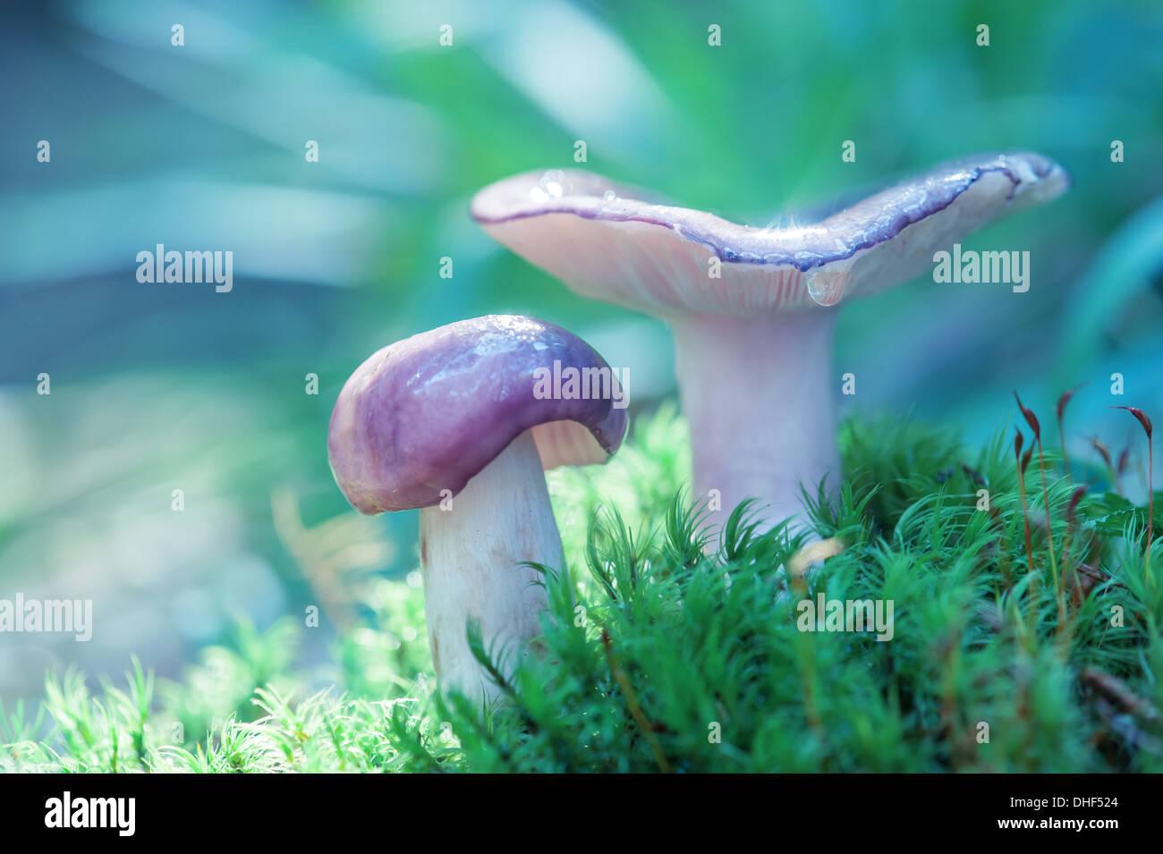 I funghi nel bosco vicino fino Foto Stock