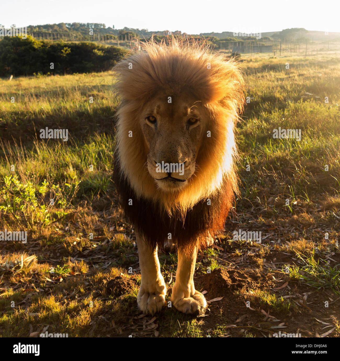 In prossimità di un vecchio grande maschio lion guardando la telecamera, retroilluminato, Sud Africa Foto Stock