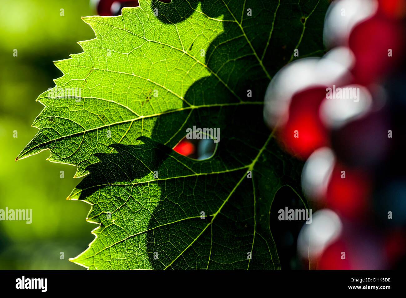 Vino rosso Uva al Lago di Garda, provincia di Verona, Italia settentrionale, Italia Immagini Stock