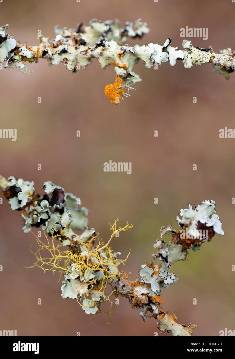 Il lichen incrostati di ramoscelli Immagini Stock