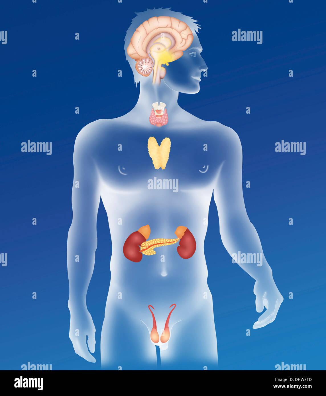 Ghiandola endocrina, illustrazione Immagini Stock