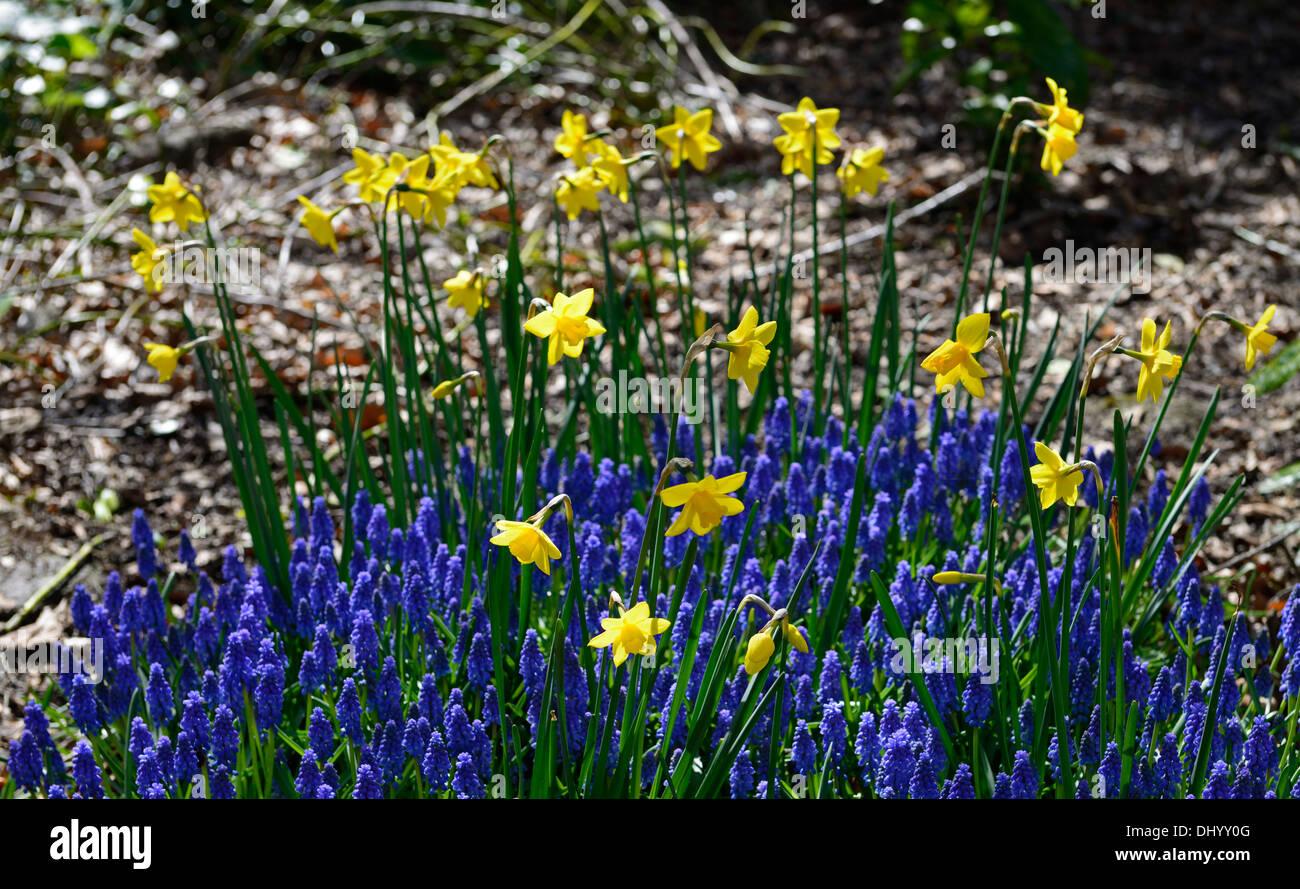 Narcissus dolcezza muscari armeniacum giallo blu fiore primavera display mix miscelato fioritura Immagini Stock