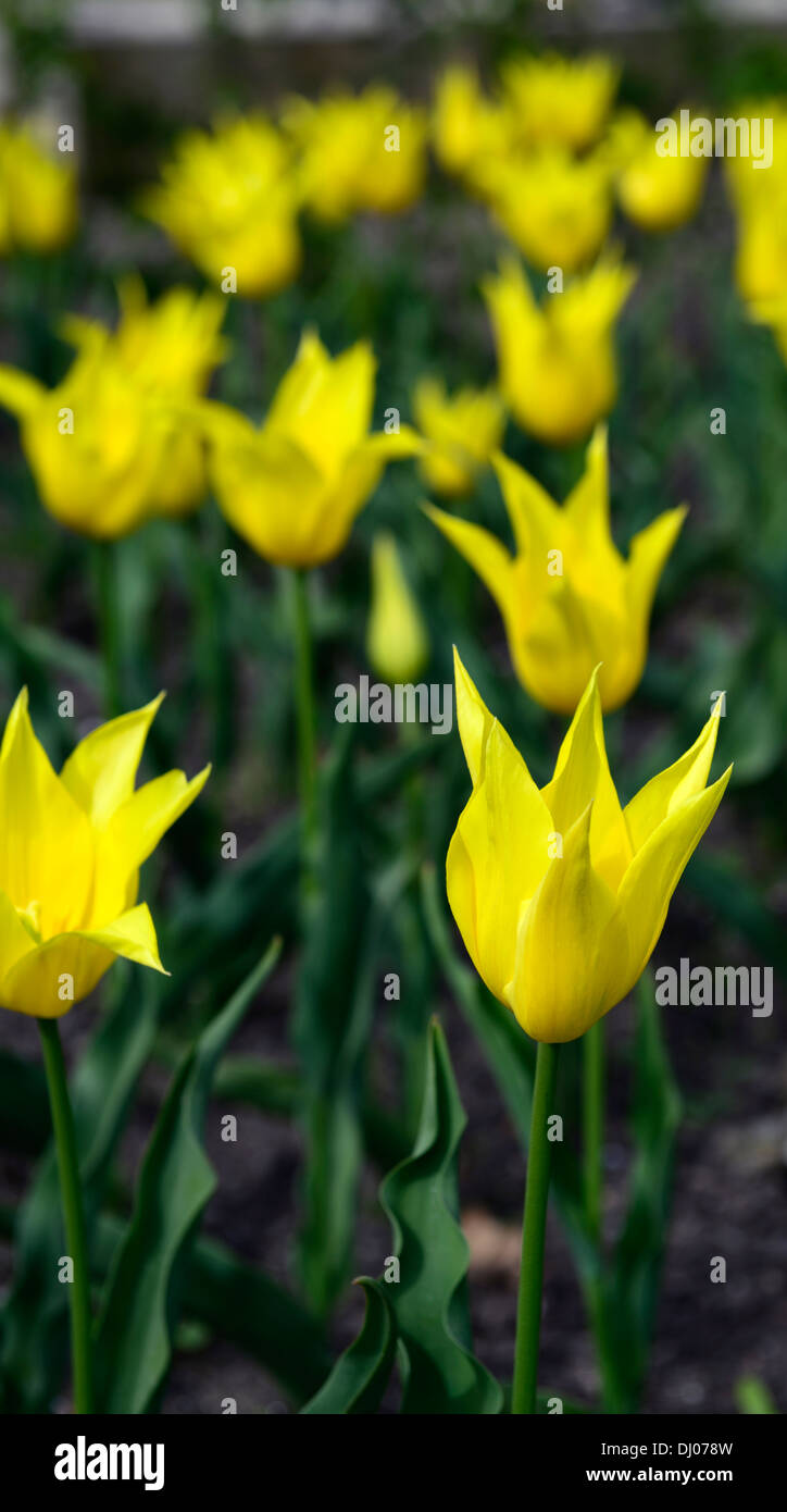 West Point Tulips Immagini & West Point Tulips Fotos Stock - Alamy