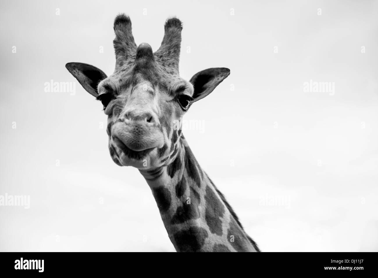 Un singolo giraffe ritratto in bianco e nero Foto Stock