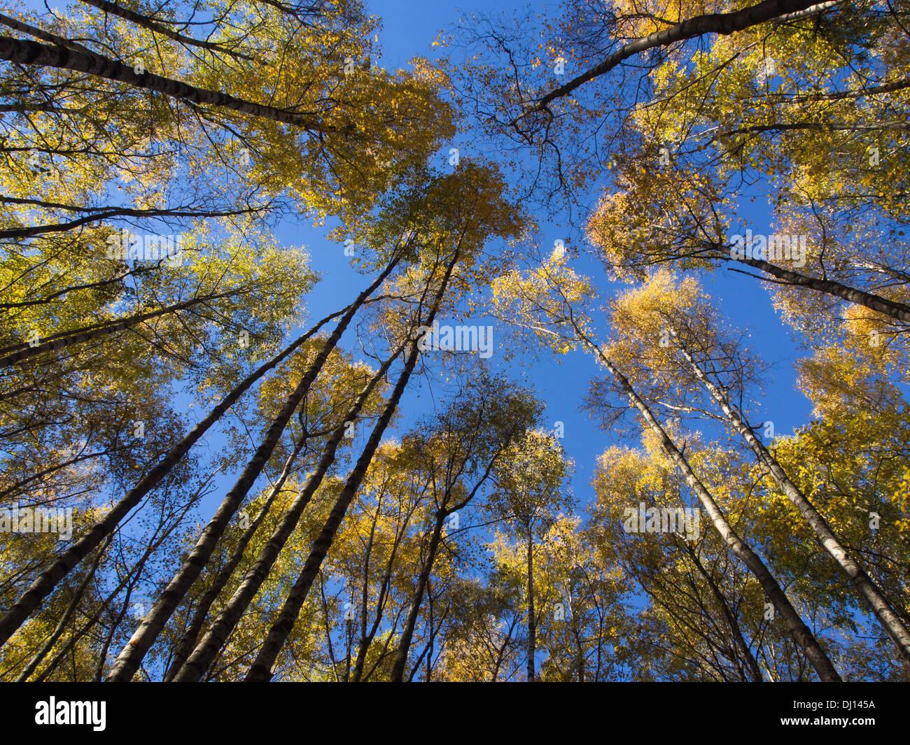 Autunno in un bosco di betulle, guardando verso l'alto sulle cime degli alberi con foglie di giallo e un cielo blu, Oslo Norvegia Immagini Stock