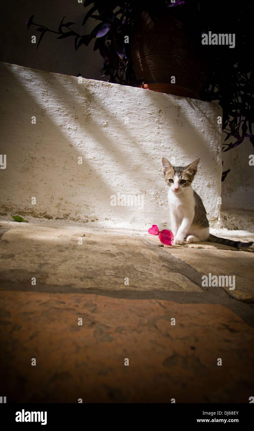 Gatto greco seduto con un fiore pacificamente in un pool di luce su un pavimento di piastrelle con una parete dipinta di bianco dietro. Immagini Stock