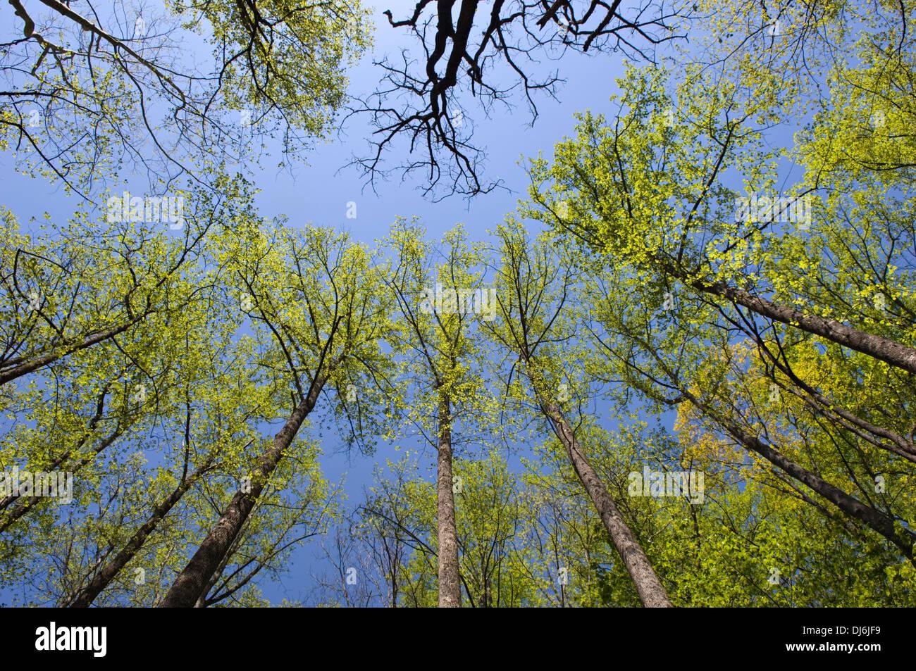 Nuova molla Foglie sugli alberi lungo il portiere Creek Trail nel Parco Nazionale di Great Smoky Mountains in Tennessee Immagini Stock