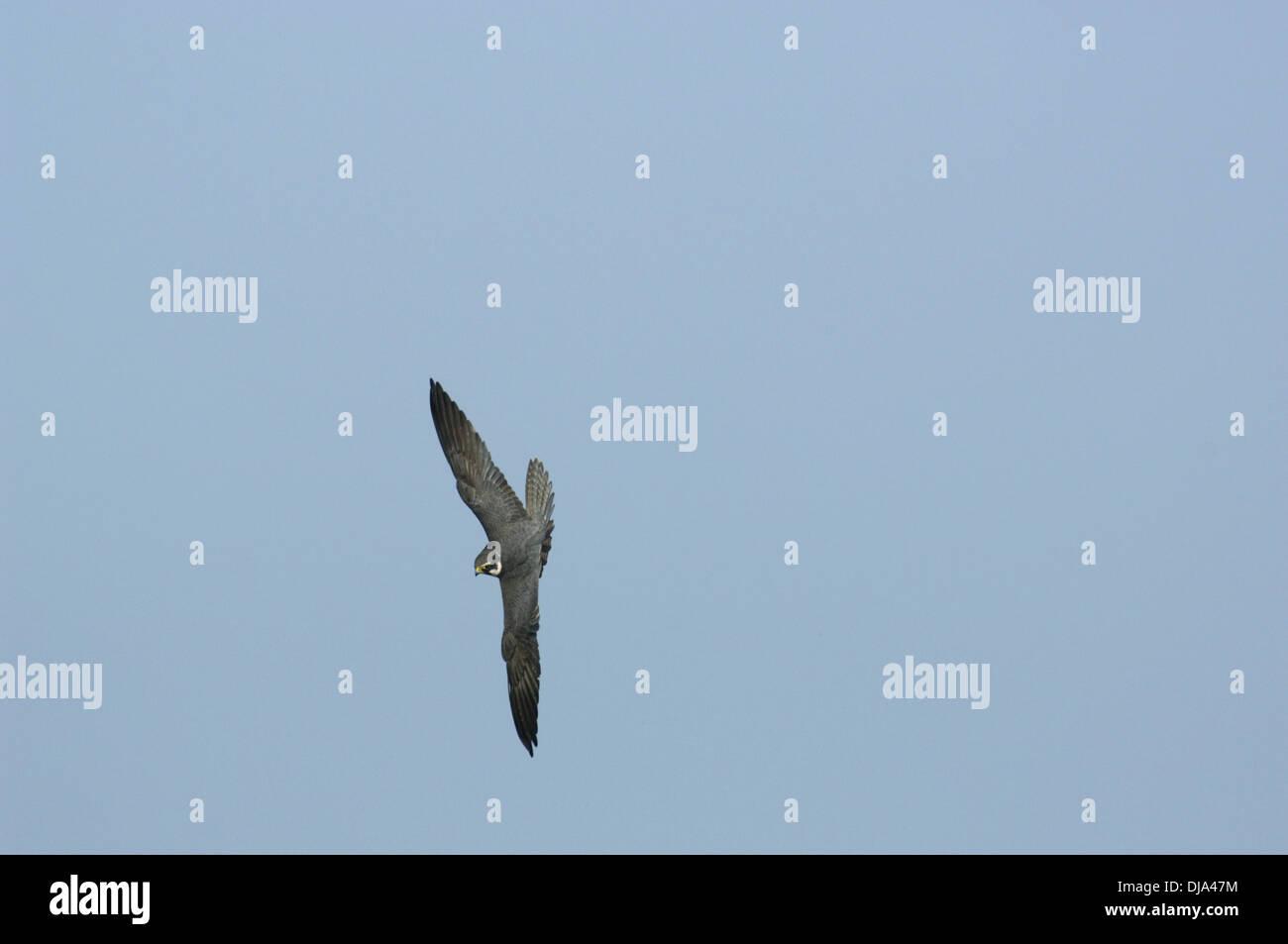 Hobby Falco Subbuteo® Immagini Stock