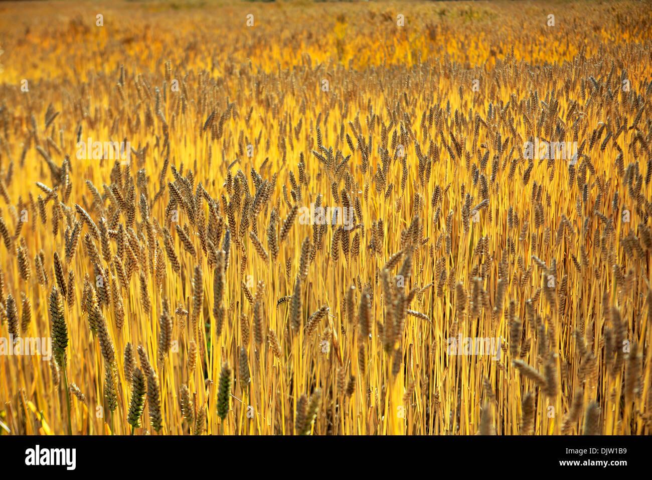 Campo di grano vicino Yumbu Lakhang (Yungbulakang Palace), Lhoka (Shannan) Prefettura, Tibet, Cina Immagini Stock