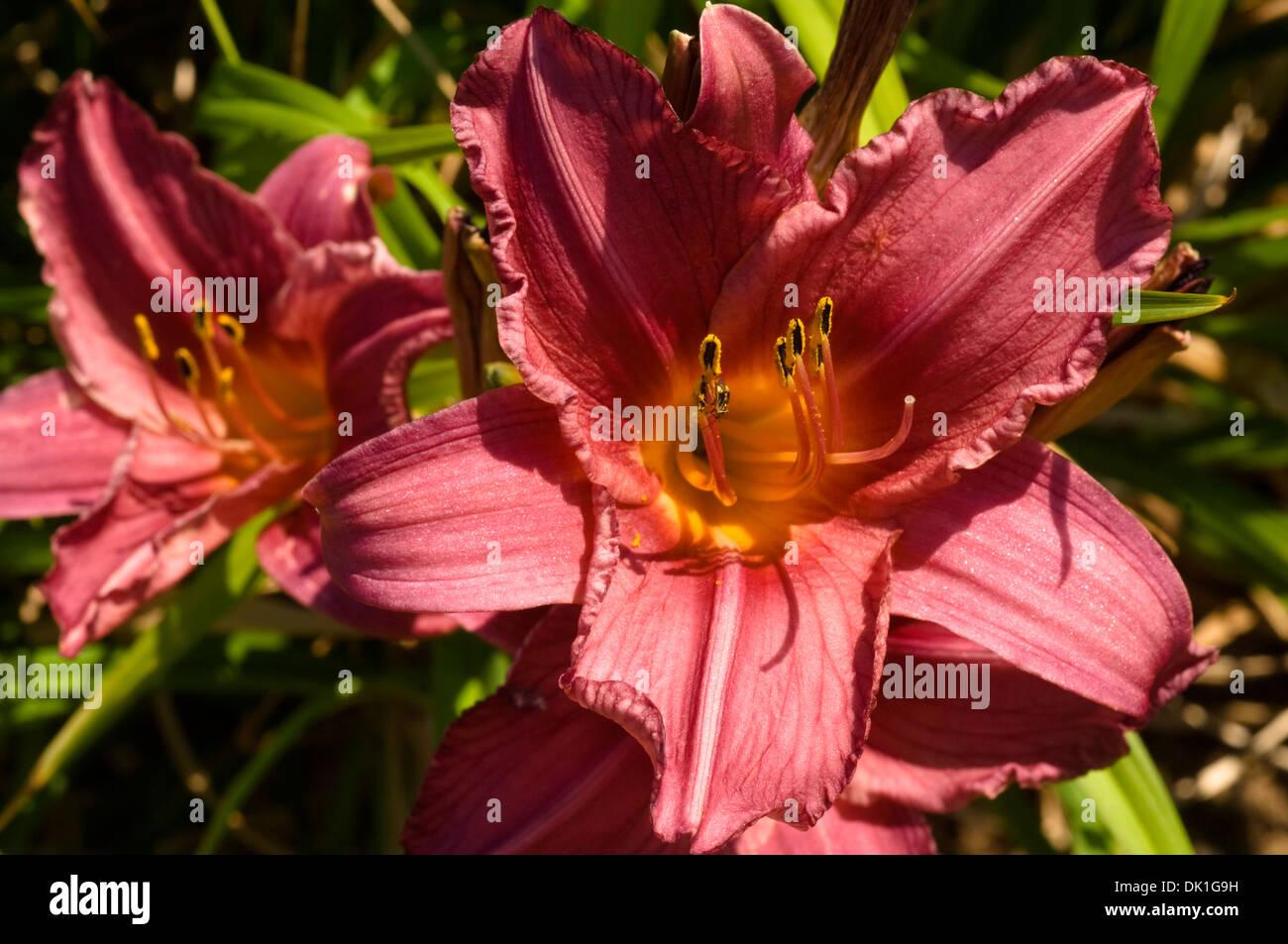 Fiori Gialli Borgogna.La Borgogna E Giglio Giallo O Lilium Fiore Closeup Foto