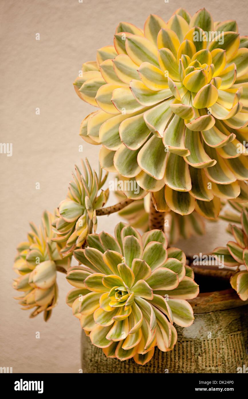 Chiudere fino ad alto angolo di visione del giallo e verde e piante grasse in vaso Immagini Stock