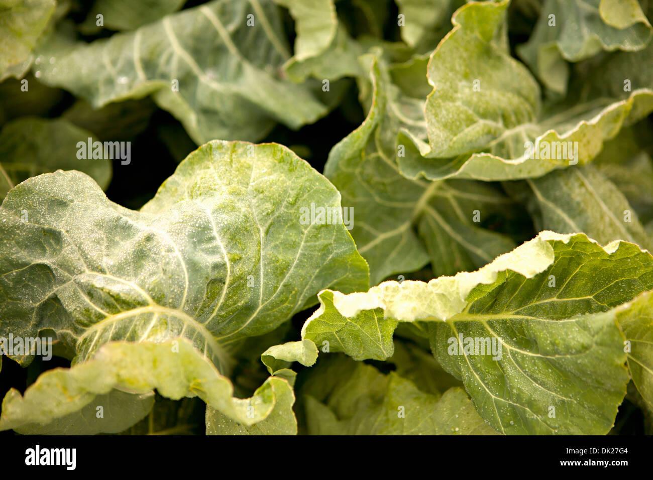 Full frame close up dettaglio del verde vegetali frondosi crescono in giardino Immagini Stock