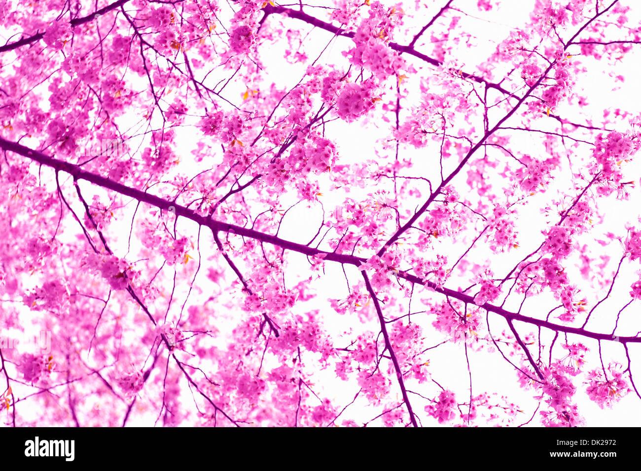 Chiudere fino a basso angolo di visione di rosa fiori di ciliegio sul ramo di primavera Immagini Stock