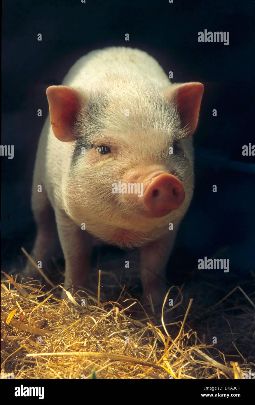 Hausschwein (Sus scrofa domestica), maiale domestico (Sus scrofa domesticus) Sus domesticus, suina, hog Foto Stock
