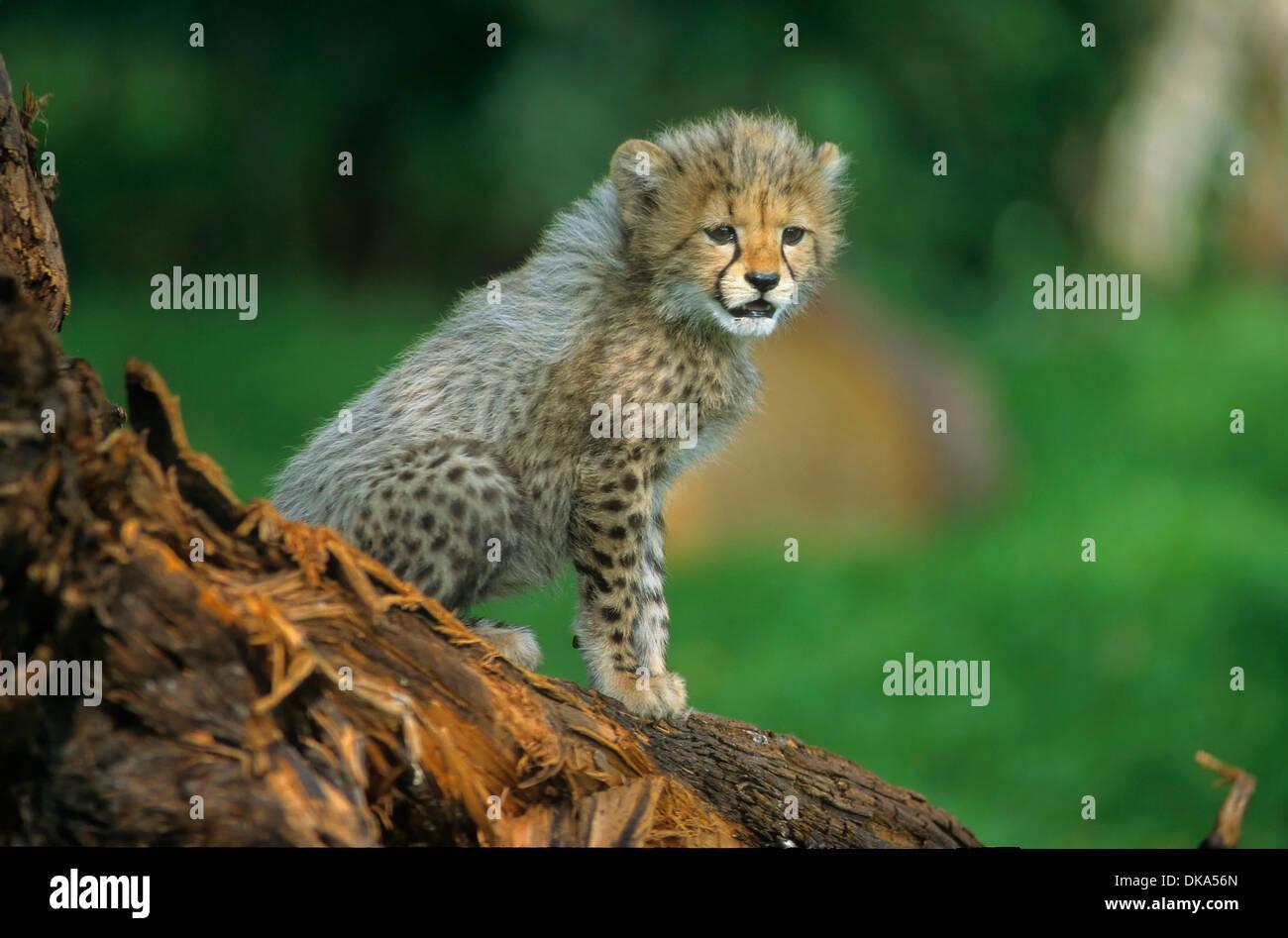 Ghepardo (Acinonyx jubatus), il gepard - Baby zwei Monate alt, Gepard (Acinonyx jubatus) Immagini Stock