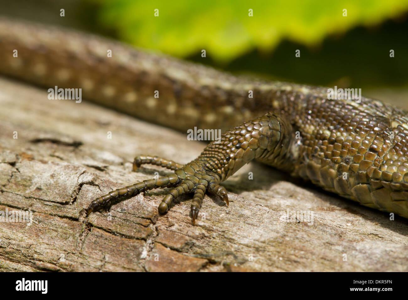 Comune o la Lucertola vivipara (Zootoca vivipara) close-up della zampa posteriore di una femmina adulta crogiolarsi su un log. Foto Stock