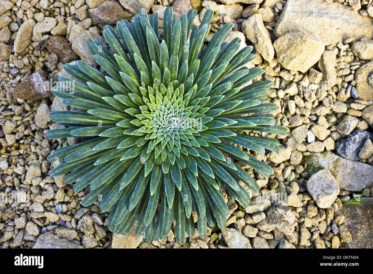 Bassa crescita di piante succulente. Immagini Stock