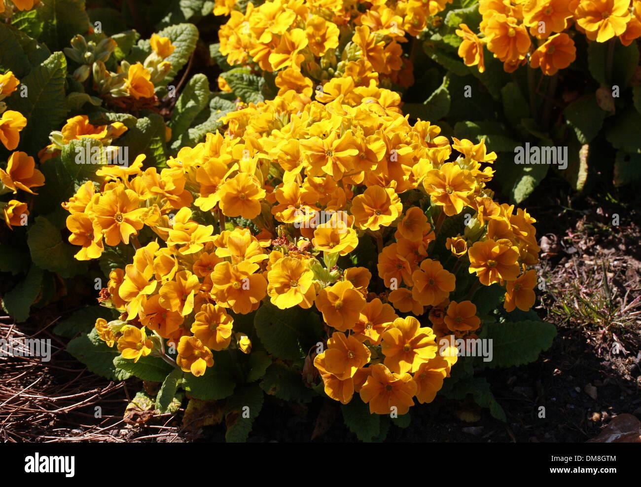 """Primula 'Crescendo arancione"""", Primulaceae. Immagini Stock"""