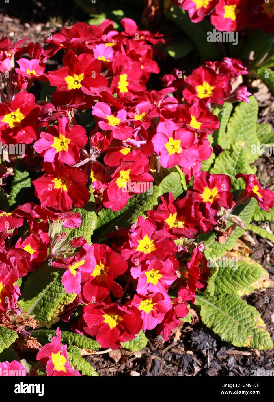 Primula 'Crescendo vino', Primulaceae. Immagini Stock