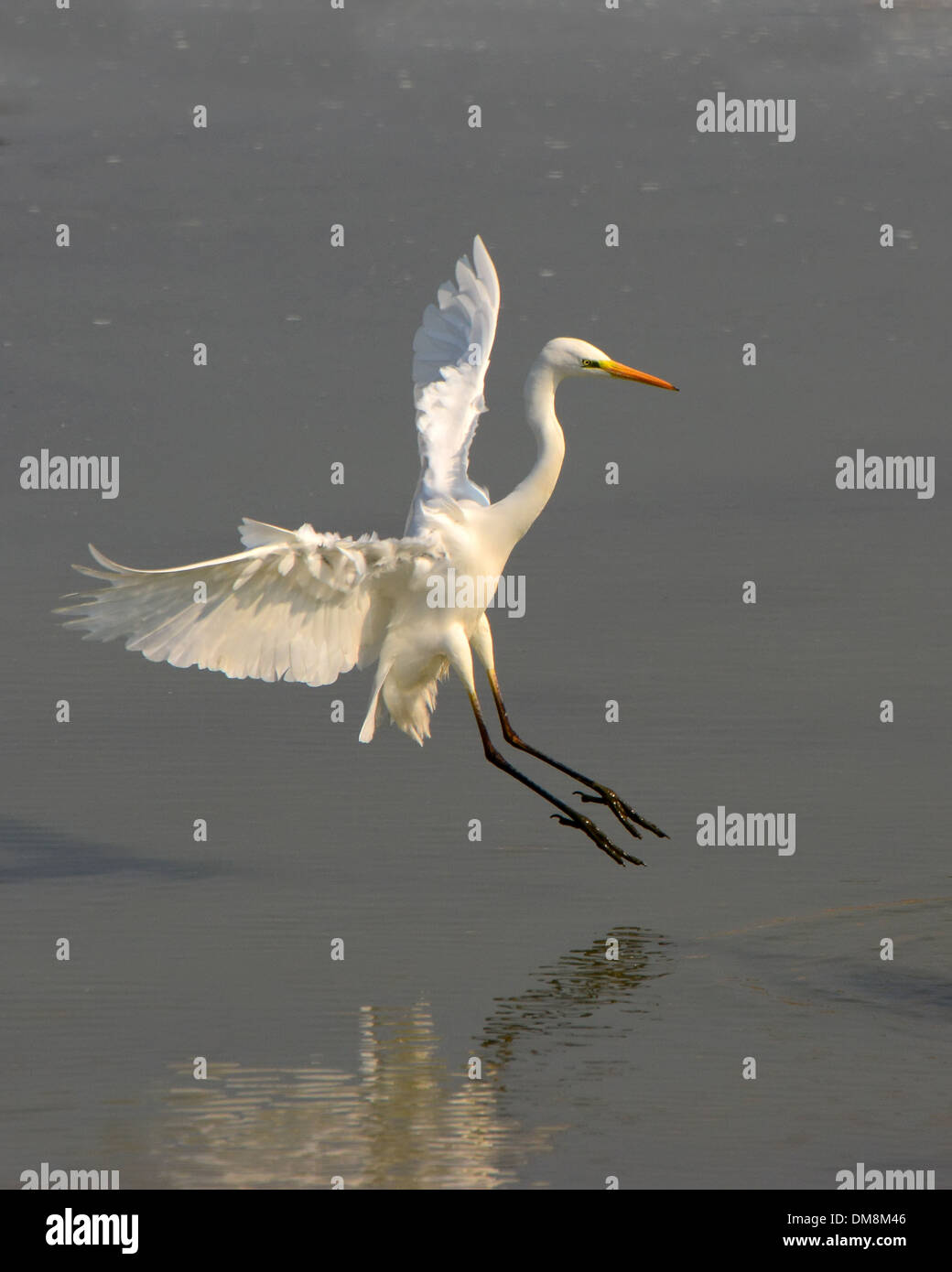 Airone bianco maggiore ( Ardea alba) lo sbarco in acqua Immagini Stock