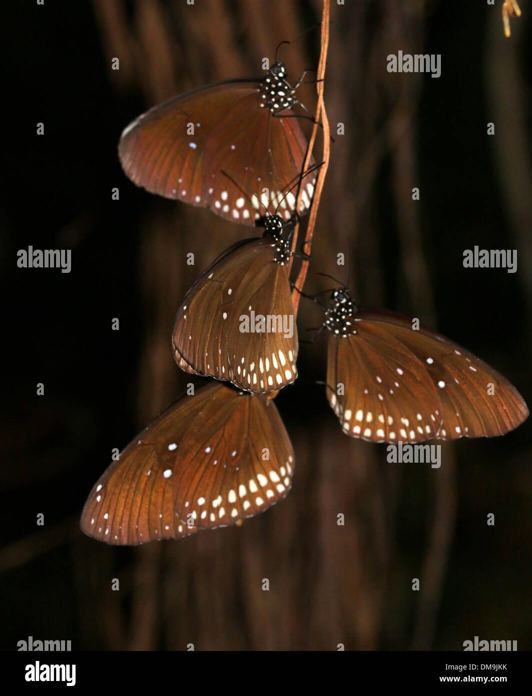 Il gruppo di quattro comuni di Crow farfalle (Euploea core) dormire e il riposo durante la notte Immagini Stock