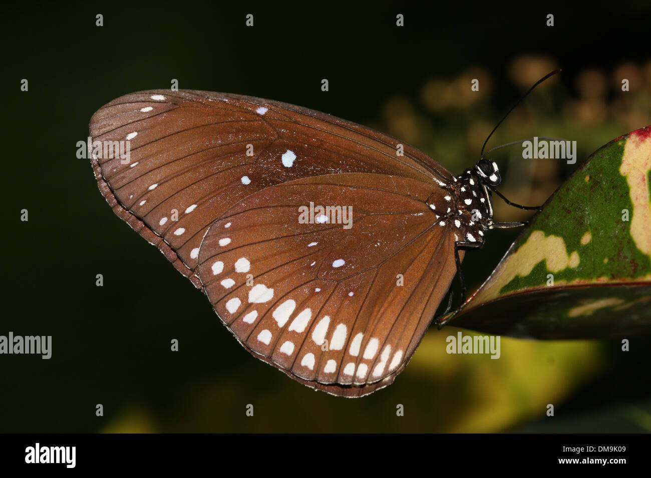 Il corvo comune butterfly a.k.a. Comuni indiana o corvo australiano ( Euploea core) Immagini Stock
