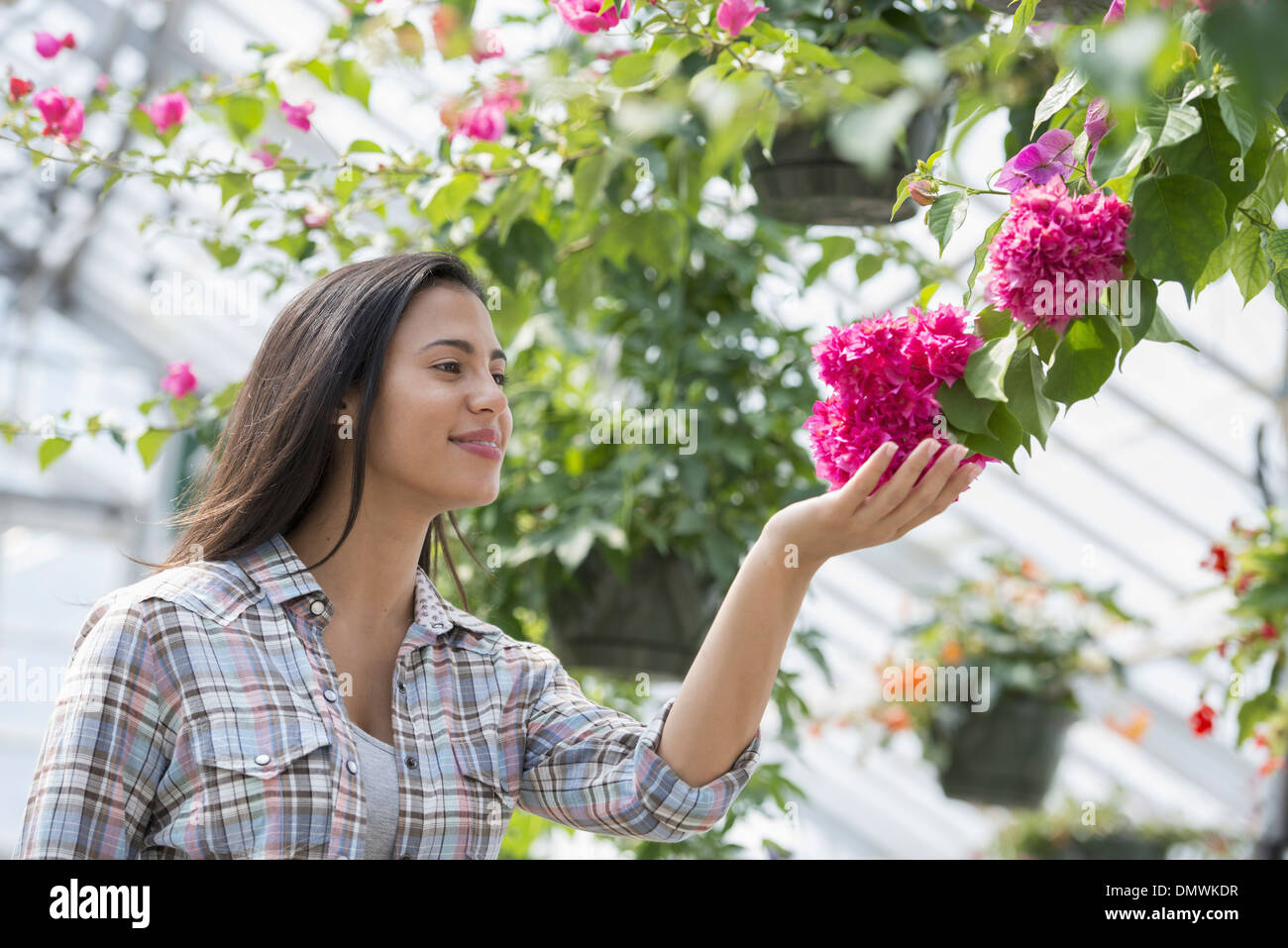 Una donna in un vivaio organico serra. Immagini Stock