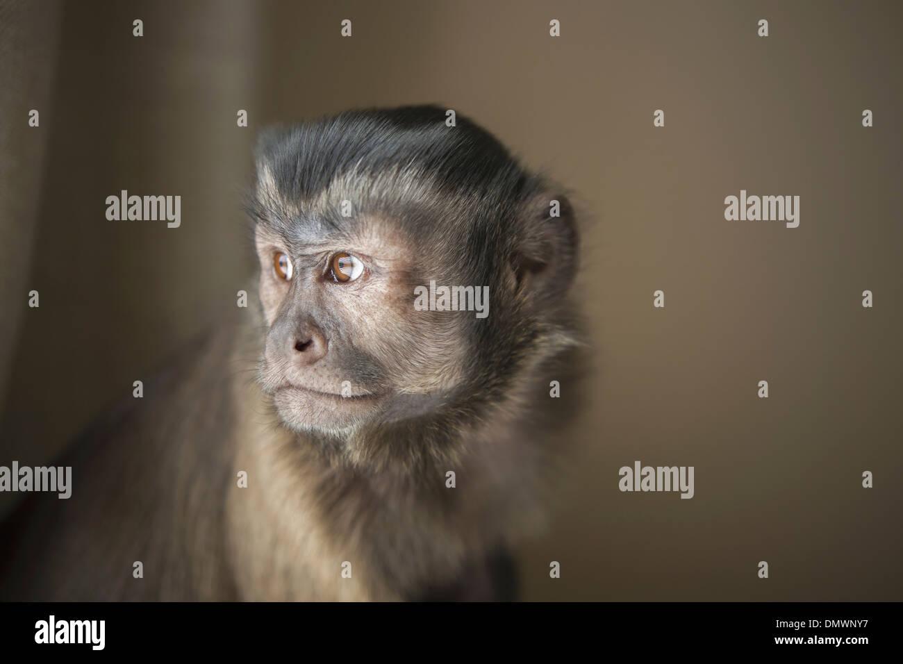 Una scimmia cappuccino seduto testa e spalle. Immagini Stock